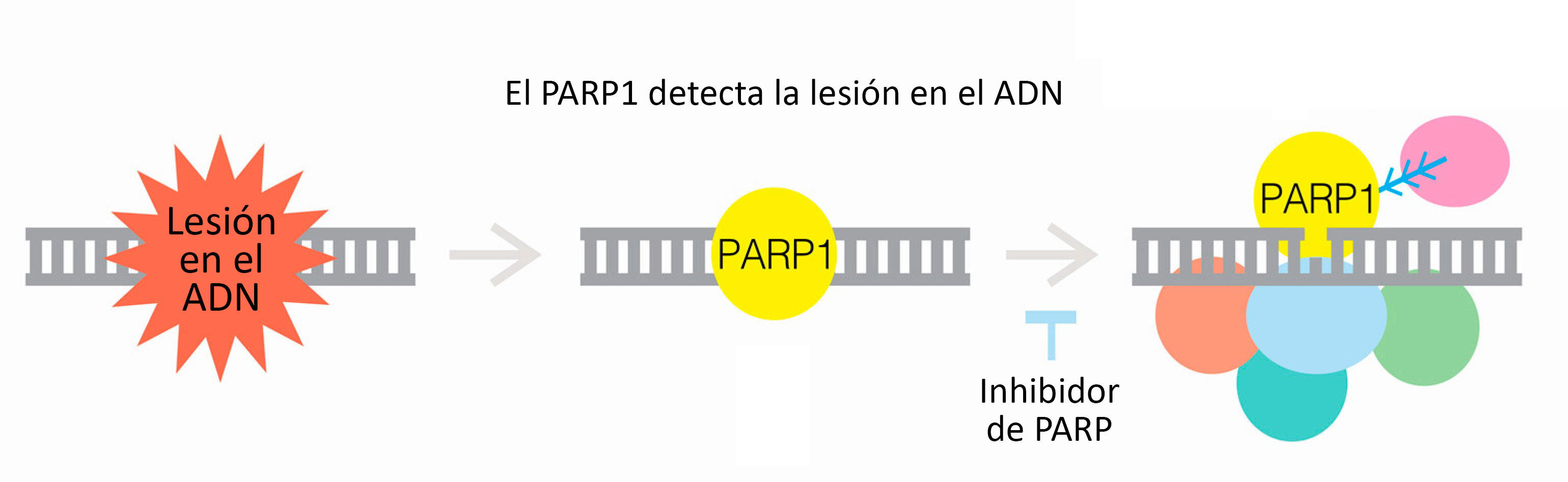 parp-illustration-spanish